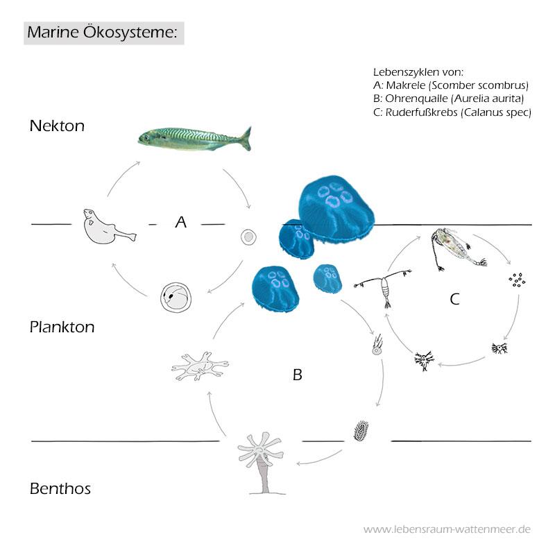 wattenmeer nordsee aufbau ökosystem